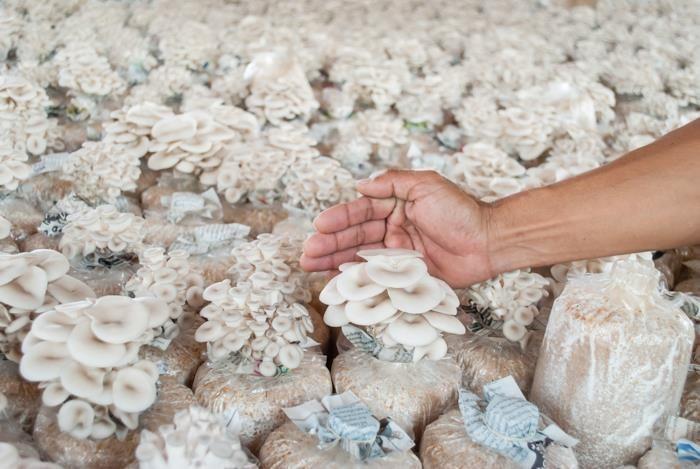 Como fazer ou iniciar umcultivo de cogumelosde sucesso, sem cometer erros, aprenda tudo, investimento, localização, equipamentos, fornecedores, mercado,