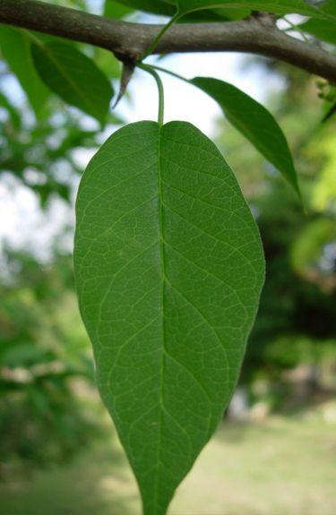 Osage Orange Leaf (Maclura Pomifera)