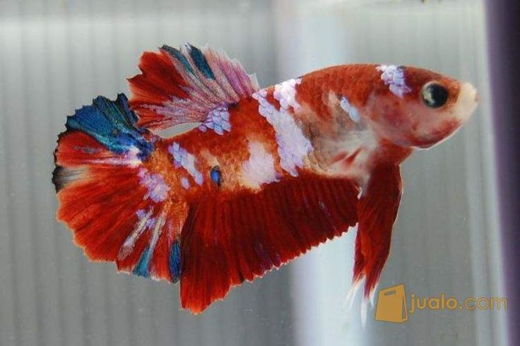 Betta splenden plakat ko aquarium pinterest betta for Best place to buy betta fish online