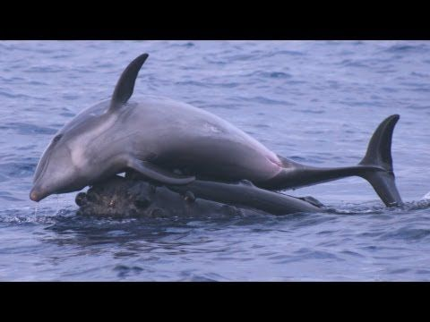 #Dolphins and #Whales playing with each other (video) in rare interspecies play...amazing to watch!