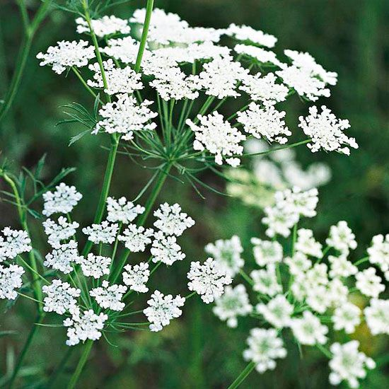 This easy-growing cut flower offers umbrella-shaped clusters of lacy blooms in mid to late summer! Click here for more white flowers for your garden: http://www.bhg.com/gardening/design/color/white-flower-garden-ideas/?socsrc=bhgpin031815queenanneslace&page=11