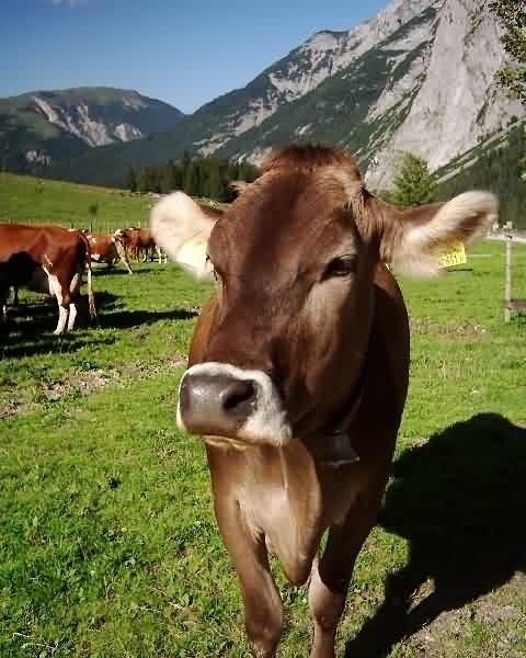 Kühe auf der Engalm
