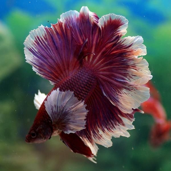 1509 best images about pretty bettas on pinterest for Elephant ear betta fish