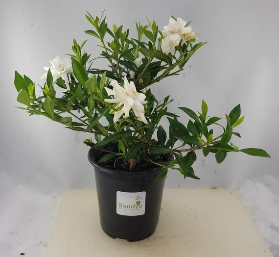 Gardenia Radicans Dwarf Quart Pot Fragrant Flowers Small Shrubs