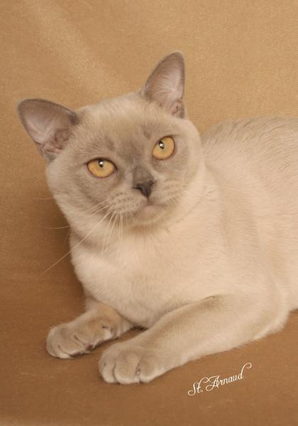 Burmese - just like Xena, my cat!