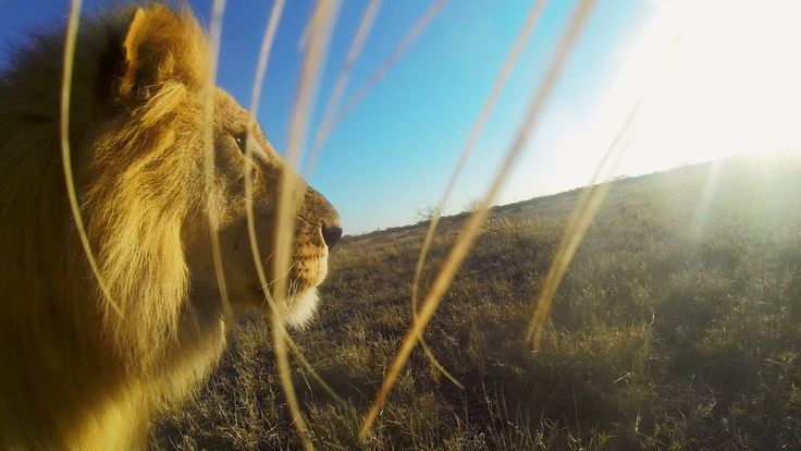 gopro lion mouth cam quotfilmedquot on location in the