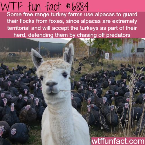 Alpacas guarding turkey farms - WTF fun facts