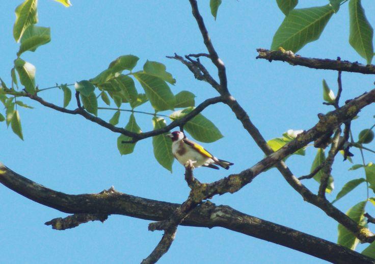 Tengelic/ Carduelis carduelis/European goldfinch