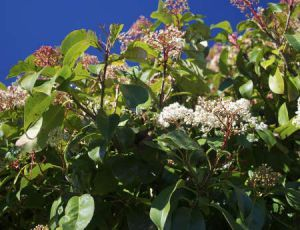 Photinia : plantation, taille et conseils d'entretien