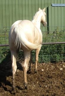 Skipa Golden Shiek; 2003; Palomino stallion; (Skipping Duino x Dances With Skip); Breeder: Tony Daringer, NE.; Owner: J. R. Accord of Bar A  Ranch; SHOW RECORD: 2007 International Ranch & Cowboy Association (IRCA) WORLD CHAMPION JUNIOR RANCH CUTTING STALLION, Reserve World Champion Jr. Ranch Western Pleasure Stallion, and Reserve World Champion Jr. Ranch Trail Stallion. 3rd. at the (IRCA) World Show in Jr. Ranch Halter Stallions. (photo as a yearling)Cut Stallion, Palomino Stallion, Ranch Halter, Ranch Trail, Halter Stallion, Junior Ranch, Ranch Cut, International Ranch, Cowboy Association