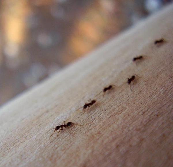 Como matar formigas com ácido bórico
