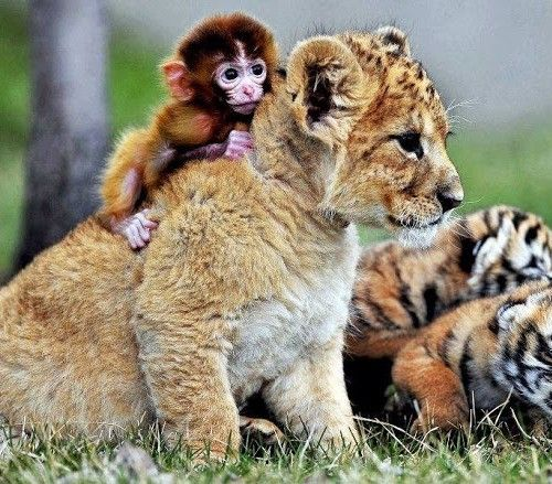 cute monkey and lion cub...