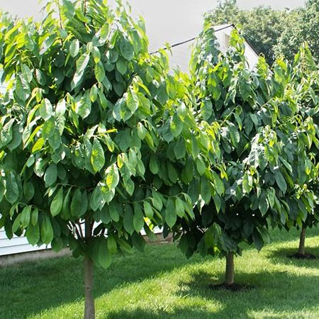20 Best Gardening Fig Trees How To Grow Images On
