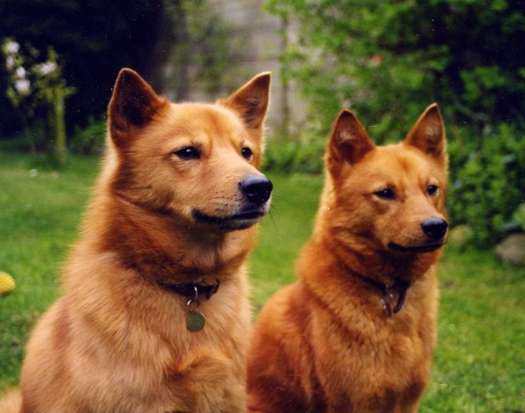 Dog Breeds That Bark Heavily