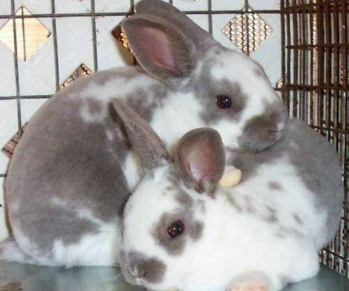 Si quieres tener un conejo Mini Rex y quieres saber más información sobre esta raza de conejos enanos con un pelaje especial no te pierdas este artículo.