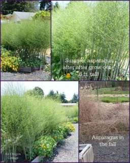 Did you know asparagus makes a great hedge after harvest?Ultimate Asparagus Guide: http://anoregoncottage.com/asparagus-guide/