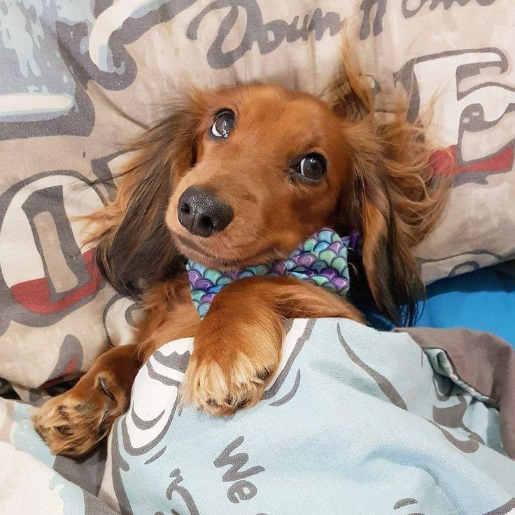 Cute Dachshund Puppy Cute Dachshund Dachshund Puppy Sausage Dog