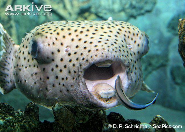 116 best pez globo images on pinterest marine life for Puffer fish diet