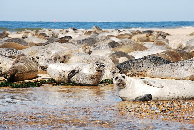 Seals, Blakeney Point by ancassell, via Flickr