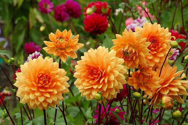 Læg knolde af dahlia i haven og i krukker på det rette tidspunkt og på det rette måde. Gør du det rigtigt vil blomsterne vende tilbage år efter år.