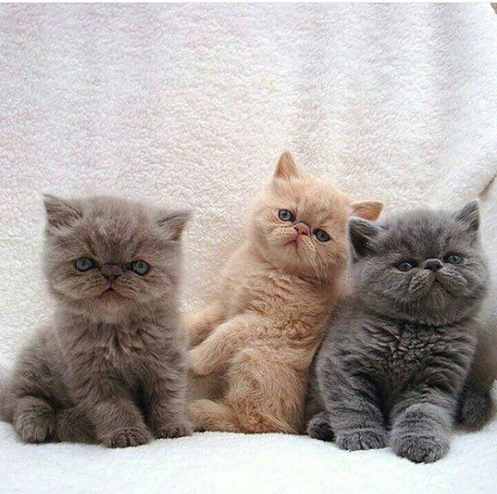 Cats! <3 Precious Persians ~