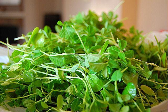 how to grow Methi (fenugreek greens)