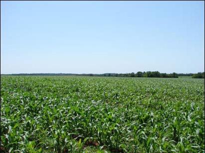 Corn growing in Calhoun County, near St. Matthews.