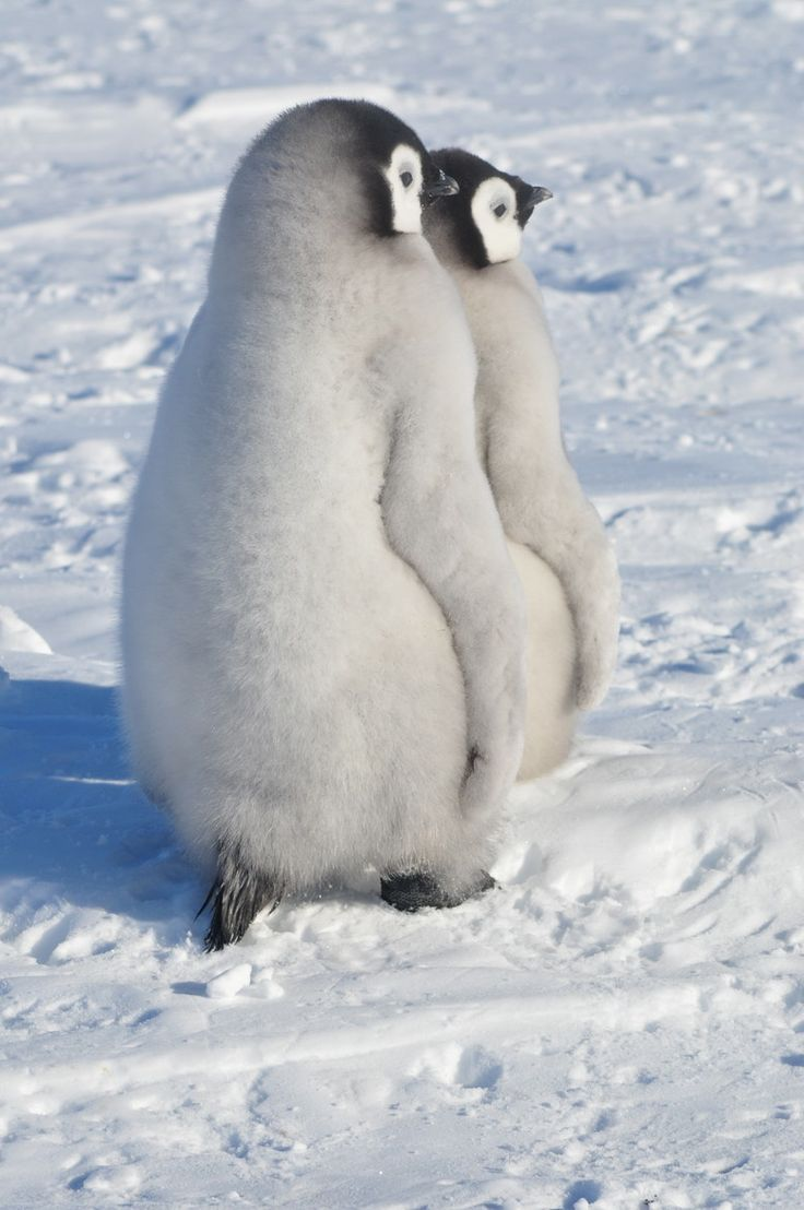 Baby emperor penguin stays with its parents at the polar house of - Emperor Penguin Chicks
