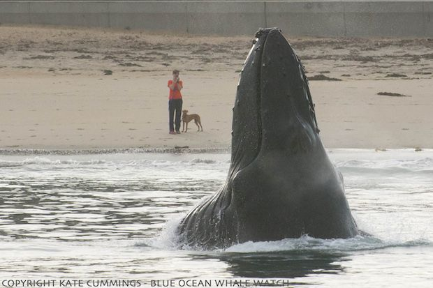 Foraging Humpbacks pursue anchovies within 50 yards of shore in Monterey Bay. Here Humpback whale surprises dog.PHOTO by Kate Cummings/Blue Ocean Whale Watch