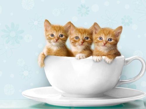 Gatinhos na xícara.