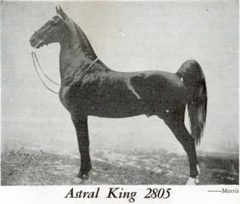 American Saddlebred | Astral King | AMAZING AMERICAN SADDLEBRED'S