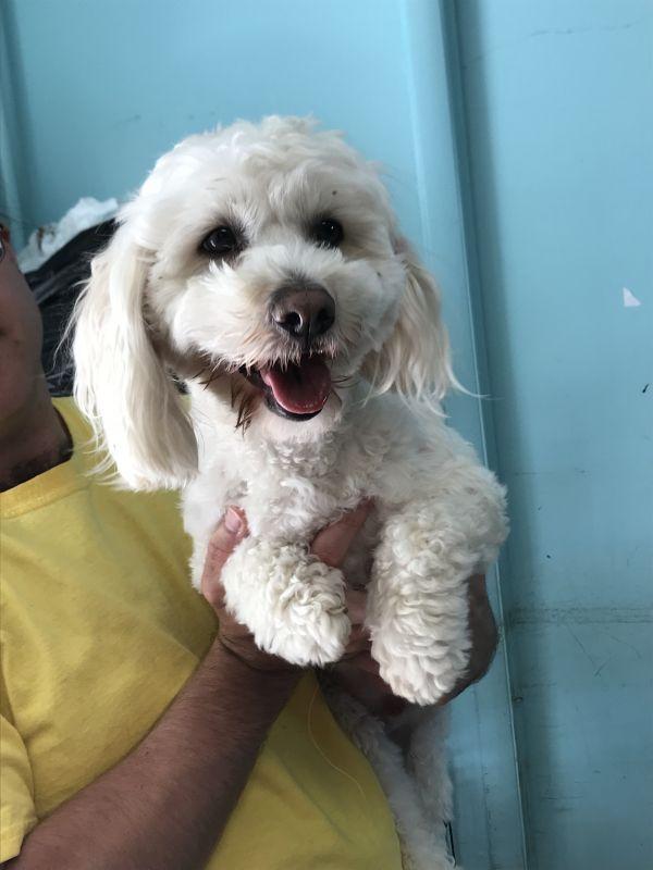 Marley Adoptable Dog Young Male Maltese Poodle Mix Maltese