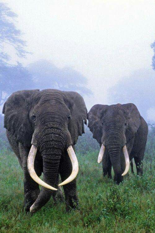 Stay safe elephants! Huge Tuskers are simply magnificent and it's getting harder and harder to find some because of poaching... Such precious beings...