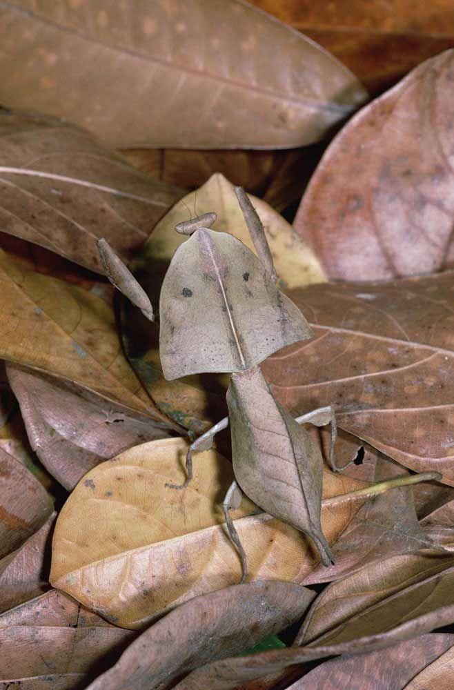 Mantis (religiosa) de las hojas - Mantide religiosa foglia morta (Deroplatys truncata)
