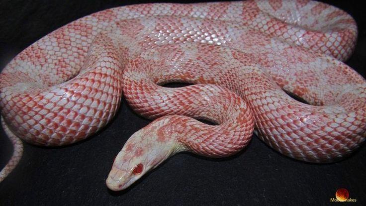 Amel cinder with images corn snake snake cinder
