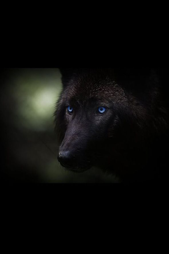 Black wolf with blue eyes drawing - photo#15