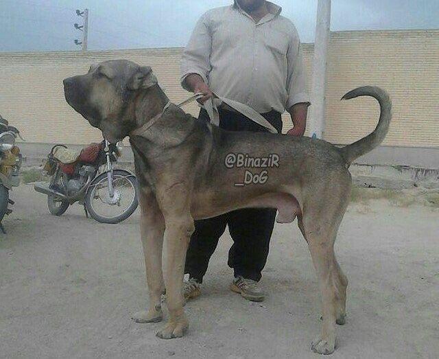 Persian Mastiff-26