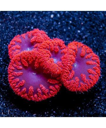 "Blastomussa wellsi - Giant Cherry Blastomussa -1.5"" Single Polyp Stock Frag - LPS - CORAL"