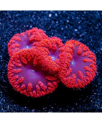 "Blastomussa wellsi - Giant Cherry Blastomussa -1.5"" Single Polyp Stock Frag - LPS - CORAL"