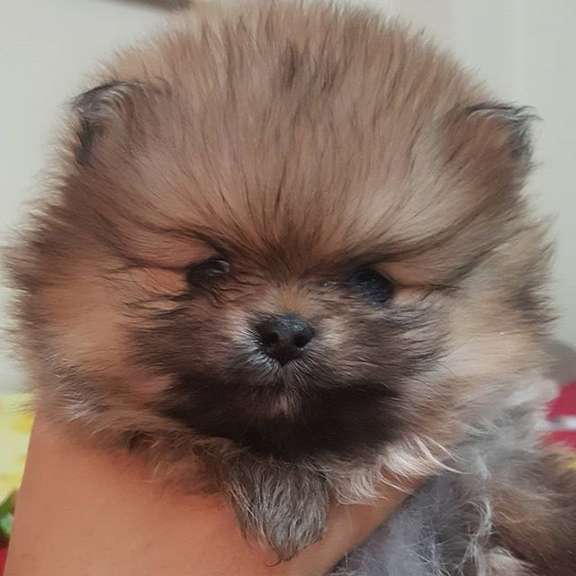 This pom face = cuteness overload