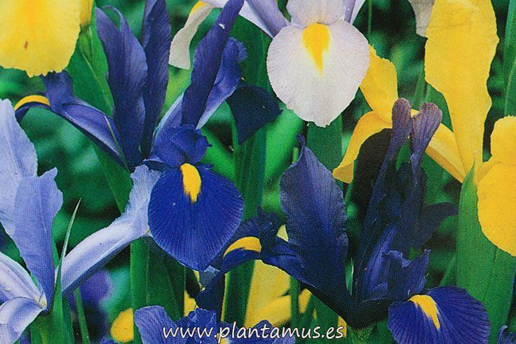 Bulbos de Iris en plantamus