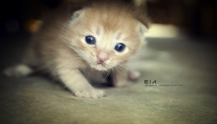 Curious Kitten - www.facebook.com/enea.mds www.twitter.com/EneaHany