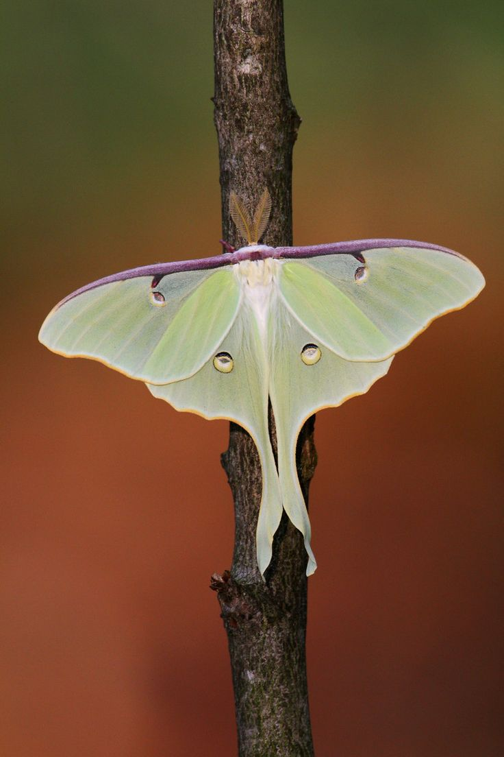 """Merveille aillée. [Winged wonder.]"" Photo by Denis Dumoulin, via 500px. -- Luna moth."