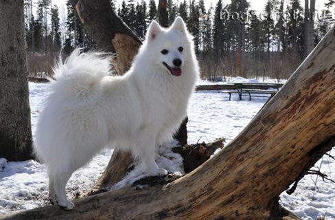 Nihon Suppitsu. Японский шпиц Считается, что происходит эта собака от самоедской лайки. Другая версия происхождения: предком Японских шпицев была карликовая эскимосская собака. В саму Японию эти собаки попали через Сибирь и Китай в начала ХХ века. В 1930-х годах Японский шпиц попадает в Канаду и обретает там популярность. В 1947 году был принят стандарт породы. Стандартом признан только белый окрас. При этом собака имеет отличную пигментацию: темные глаза и яркую обводку глаз и губ