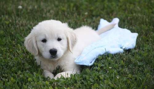 jfshfsjgf Golden Retriever Puppies for Sale Contact US for more picture and information, NOTE, PLEASE DO NOT RESPOND TO THE ADD,BECAUSE I DON'T CHECK MY EMAIL FREQUENTLY, JUST TEXT AT 785x274x9367 .TEXT ONLY PLEASE.
