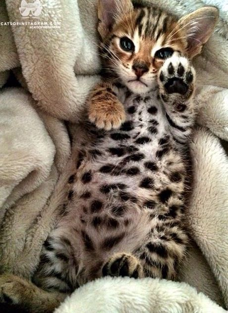 "( Look at his belly.) * * BENGAL KITTEN: "" Look at yer own belly. I haz hads enuff. I kin always carve meez initials in yer neck if yoo wantz."""
