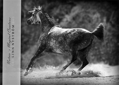 Nature´s Magical Creatures - Arab -hästbilder