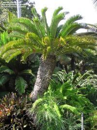 Encephalartos latifrons Image