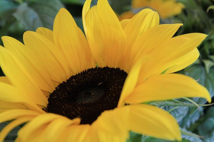 HONSELERSDIJK - Wat als je één bloem zou mogen kronen tot koningin van de zomerbloemen? Dan kies je toch zeker de majestueuze zonnebloem! In de natuur draait de bloem overdag mee met de zon. Ze wilt geen straaltje missen... 's Nachts keert de bloemknop terug naar het oosten, wachtende op haar geliefde zon. Heliotropisme noemen