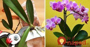 Pestujete doma orchideu? Takto jednoducho si ju môžete rozmnožiť! :-)